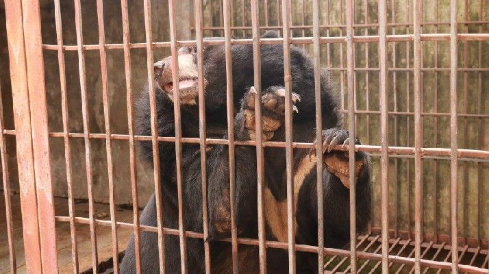 Video: Five More Bears Rescued From Horrifically Cruel Bile Industry!