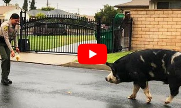 VIDEO: Runaway Pet Pig Lured Back Home with Trail of Doritos