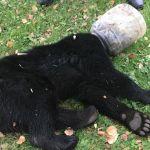 Bear Cub Stuck in Plastic Jug for Three Days