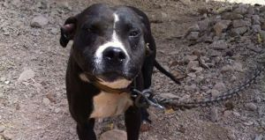 SIGN: Justice for Colo Colo, Pit Bull Forced to Fight to His Death
