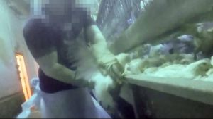 Investigation Reveals the True Horror of 'High Speed' Chicken Slaughter
