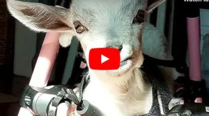 VIDEO: Baby Goat Born With No Front Legs Still Loves to Bounce and Run