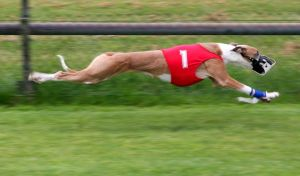 Dog Racing Banned in Florida - Thousands Need Homes
