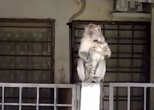 Monkey grooms kitten