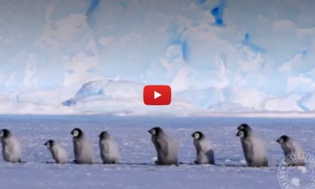 VIDEO: Adorable Baby Penguins on Their Very First 'School Trip'