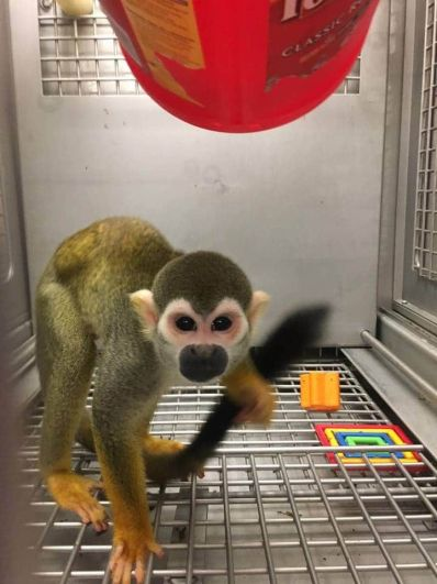 Squirrel Monkey released from lab