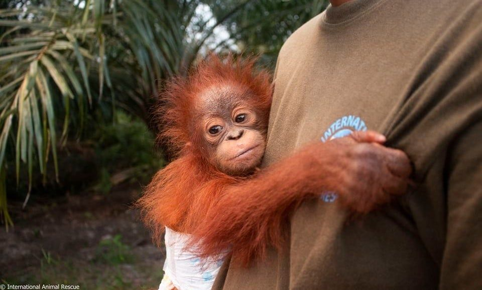 Little Baby Orangutan Rescued From Palm Oil Plantation