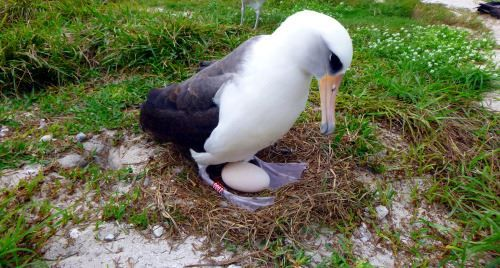The World's Oldest Living Wild Bird Lays An Egg at Age 68