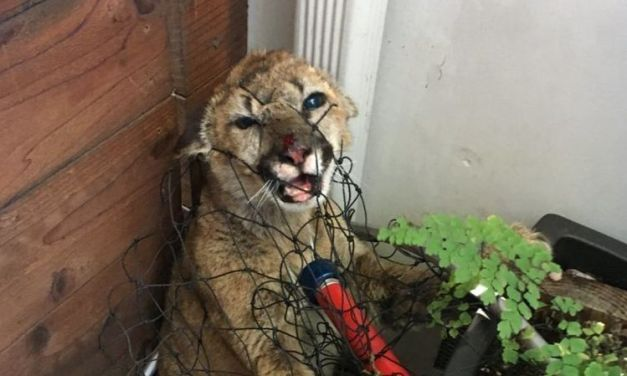 Good News! Mountain Lion Kittens Rescued in California