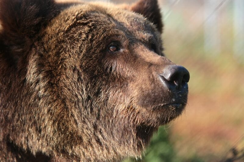 Video: Former Baiting Bear Finally Rescued From Brutal Hunting Station