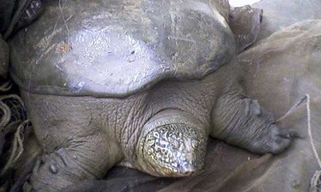 The Rarest Giant Turtle in the World Has Just Lost its Last Known Female