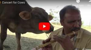 cow listening to flautist