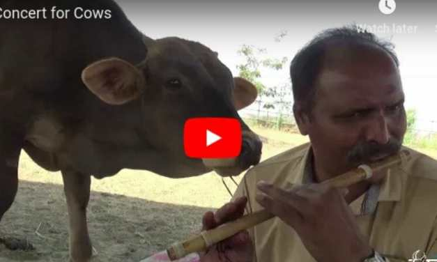 VIDEO: Rescued Cows Get Their Own Special Flute Concert