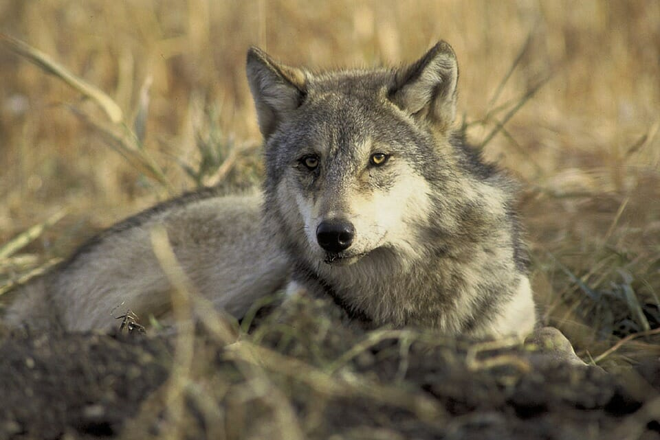 Good News! Minnesota Moves to Ban Recreational Wolf Hunting