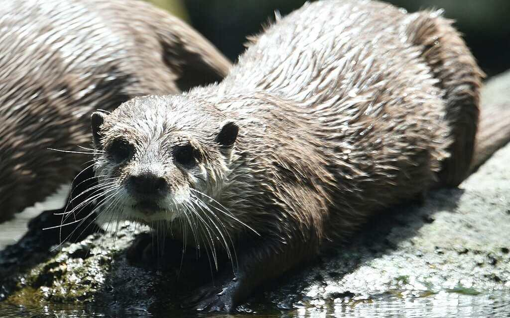 Otters Are Being Poached to Extinction to Feed Pet 'Otter Craze'