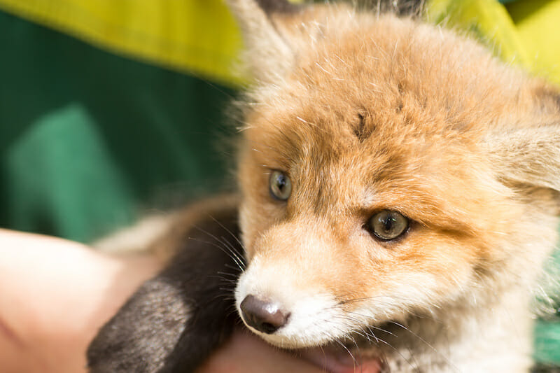 SIGN: Justice for Terrified Fox Cubs Fed Alive to Hounds