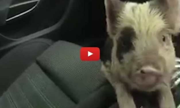 VIDEO: Police Officers Rescue Adorable Pig from Busy Road