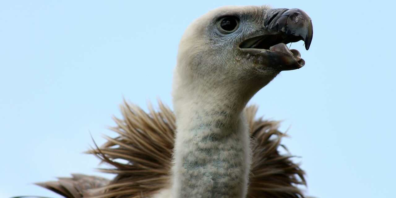 500 Endangered Vultures Killed by Eating Elephants Poisoned by Poachers