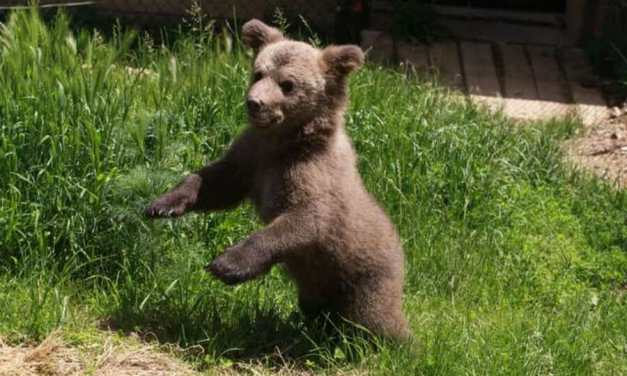 Video: Pure Joy As Rescued Bear Cub Walks On Grass For The First Time!