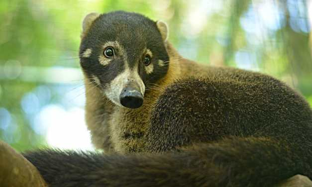 Video: Adorable Coati Family Released Back Into The Wild