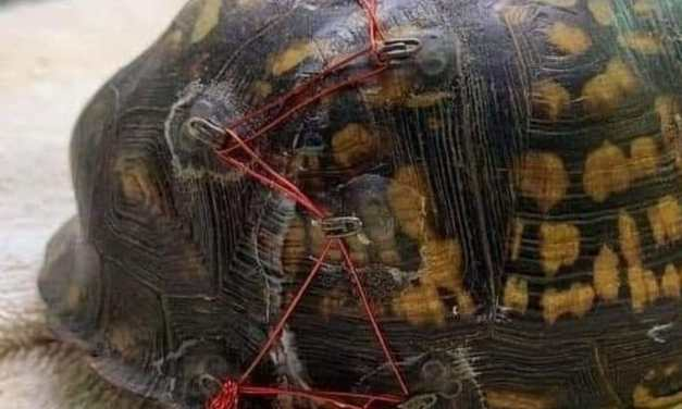 Brilliant Rescuers Are Using Donated Bra Clasps to Fix Turtles' Shells