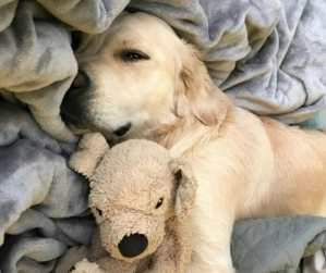 Adorable Golden Retriever Takes Tender Care of His Stuffed 'Mini-Me'