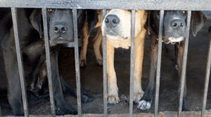 Dogs in kennel
