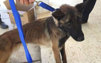 Athena, a bomb-sniffing dog evacuated from Jordan after severe neglect