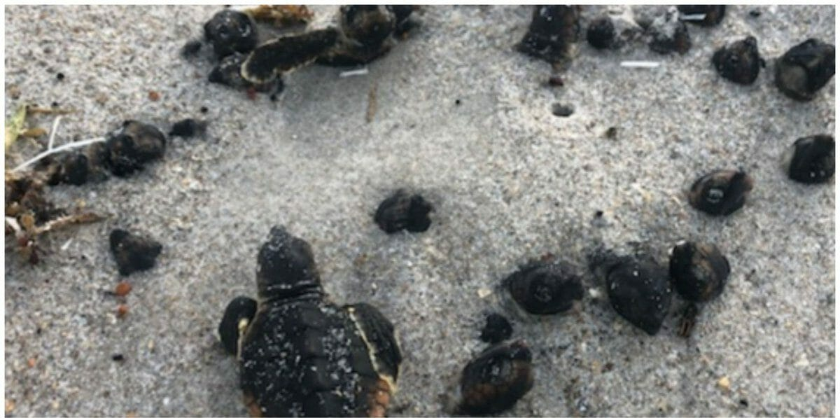 SIGN: Justice for Endangered Baby Sea Turtles Burned to Death on Florida Beach