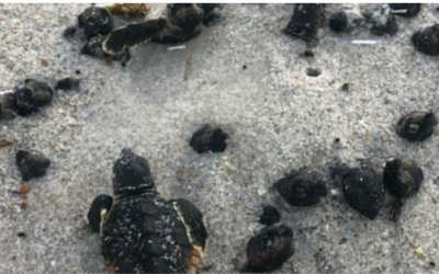 Baby sea turtles burnt to death