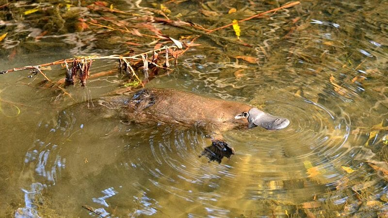 The Quirky, Adorable Platypus Is Disappearing Faster Than We Thought