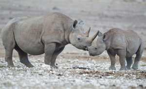 Endangered black rhinos are threatened by trophy hunting