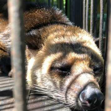 Civet lying in cage