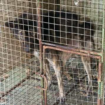 Dog at luwak farm