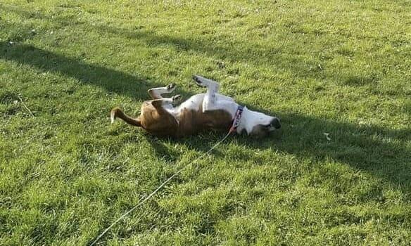 Bonita rolling around in grass