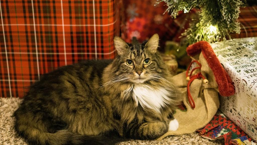 Cat at Xmas