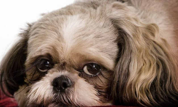 SIGN: Justice for Lucy, Shih Tzu Cruelly Beheaded and Dismembered