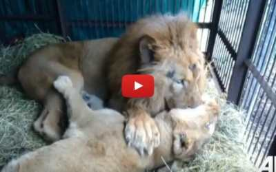 VIDEO: Two Lions Rescued from Circus Shower Each Other with Love and Affection