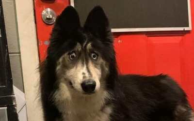 Husky Abandoned for 'Weird Eyes' Gets Adopted After Viral Facebook Video