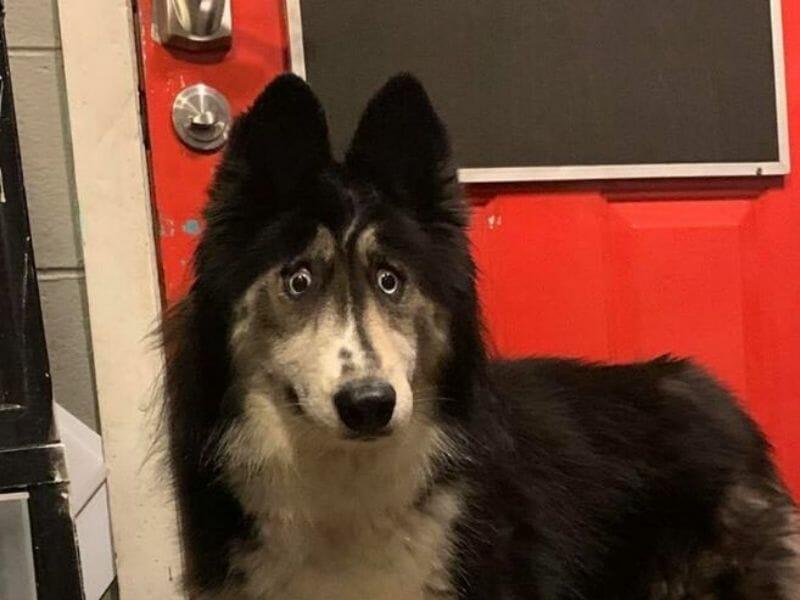 Husky Abandoned for 'Weird Eyes' Gets Adopted After Viral Facebook Video