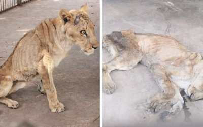 SIGN: Justice for Lions Starving to Death at Sudanese Zoo