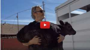 VIDEO: Joaquin Phoenix Saves Mother Cow and Newborn Calf from LA Slaughterhouse