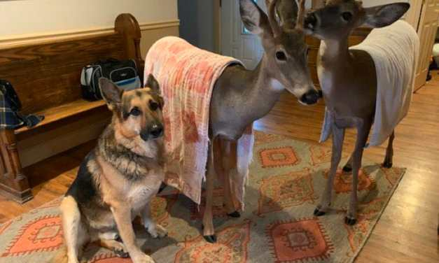 Sarge the German Shepherd Rescues Orphaned Wild Animals