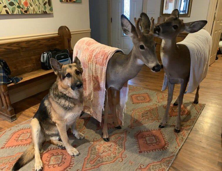 Sarge the German Shepherd Rescues Orphaned Wild Animals