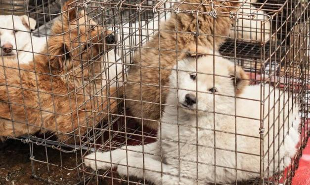 As Yulin Dog Meat Festival Approaches, China Removes Dogs from Livestock List