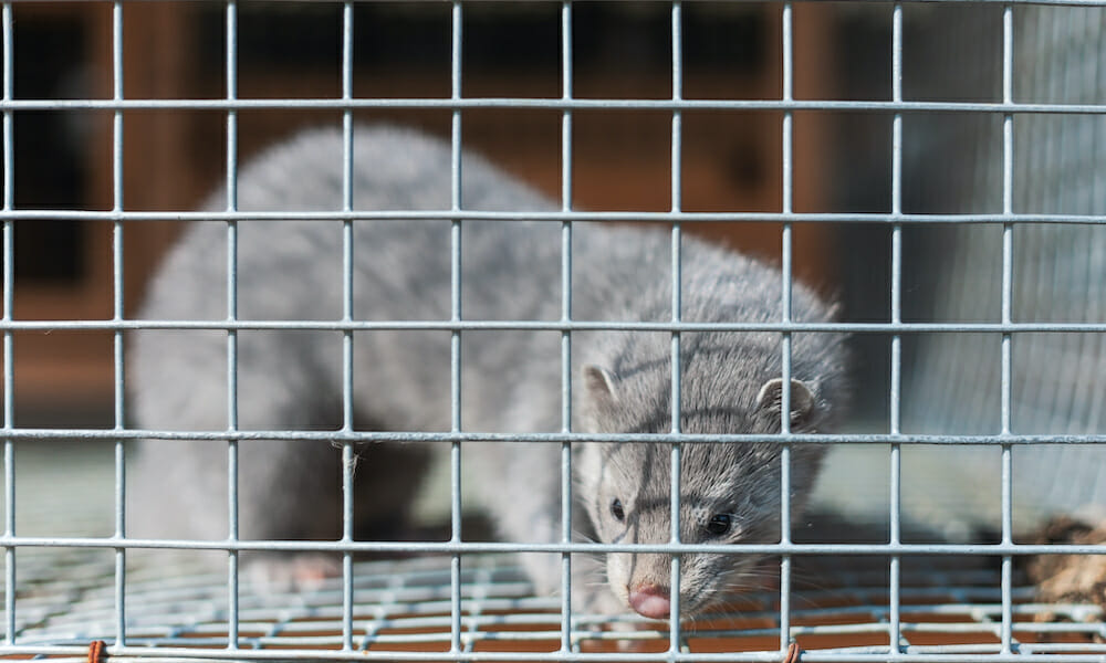Mink at Fur Farm May Have Transmitted COVID-19 to Worker