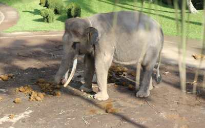 chained up elephant surrounded by feces