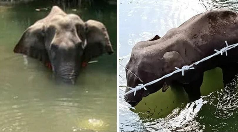 injured elephant in water