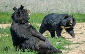rescued black bear Dillan and friend