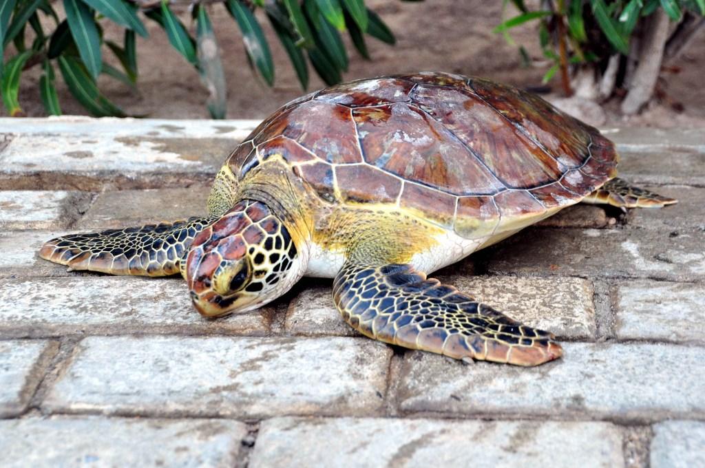 alt-découverte-de-l'île-de-Sal-cap-vert-tortue